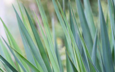 A yucca szaporítása – saját történet